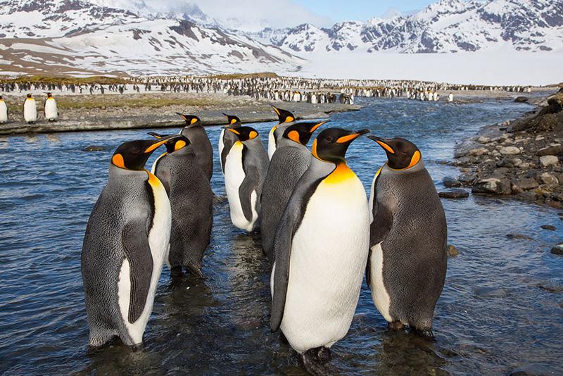 Пингвины12